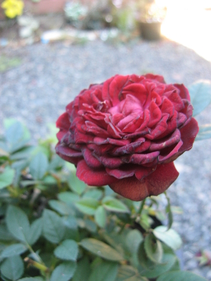 red_rose_01_small.jpg