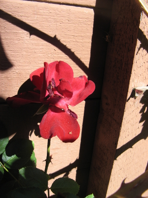 red_rose_02_small.jpg